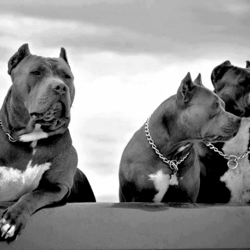 10 Best Pit Bull Screen Savers FULL HD 1080p For PC Background 2018 free download pitbull screensavers and wallpaper 51 images 800x800