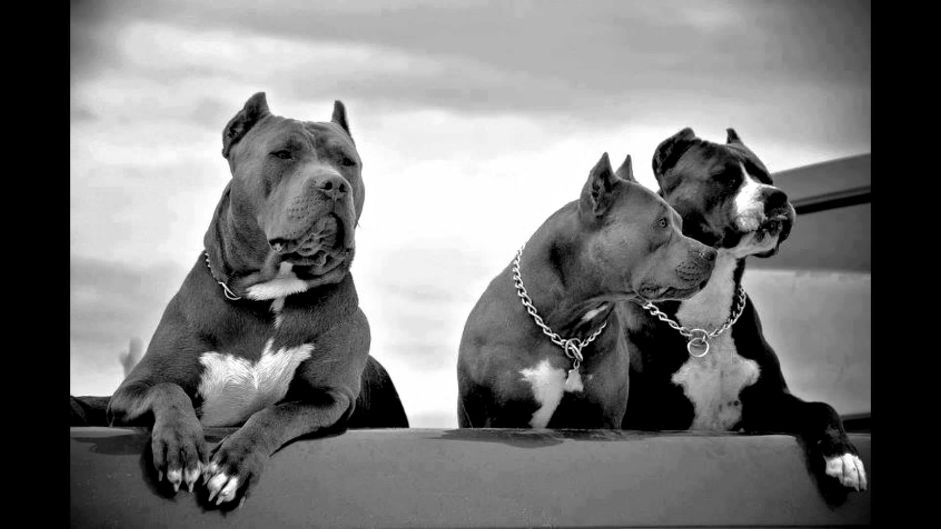 pitbull screensavers and wallpaper (51+ images)