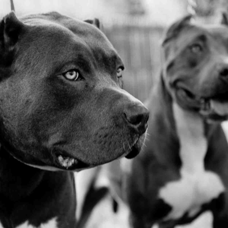 10 Best Wallpaper Of Pit Bulls FULL HD 1080p For PC Background 2020 free download pitbull wallpapers two pitbulls in black and white dogs wallpapers 800x800