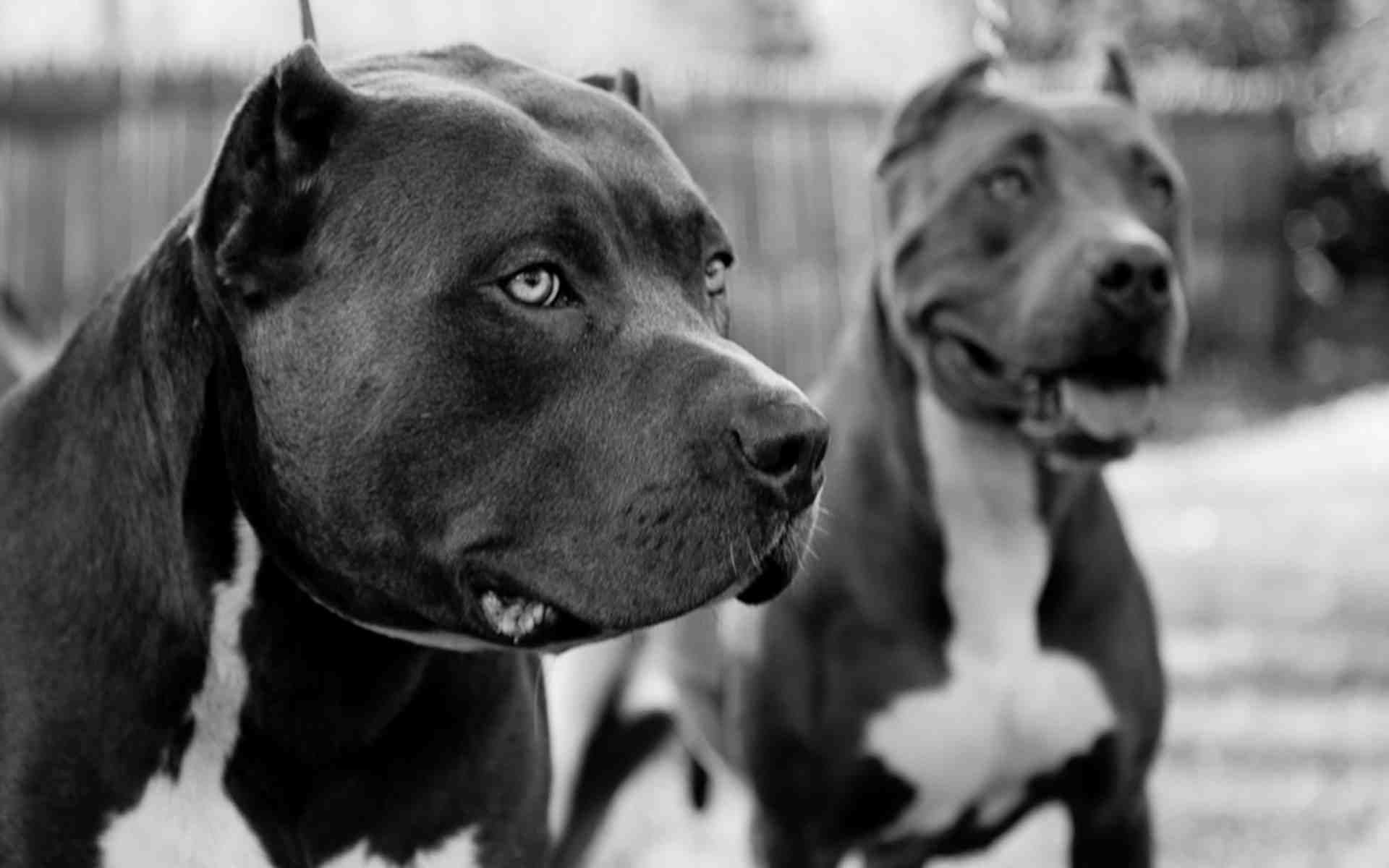 pitbull wallpapers two pitbulls in black and white | dogs wallpapers