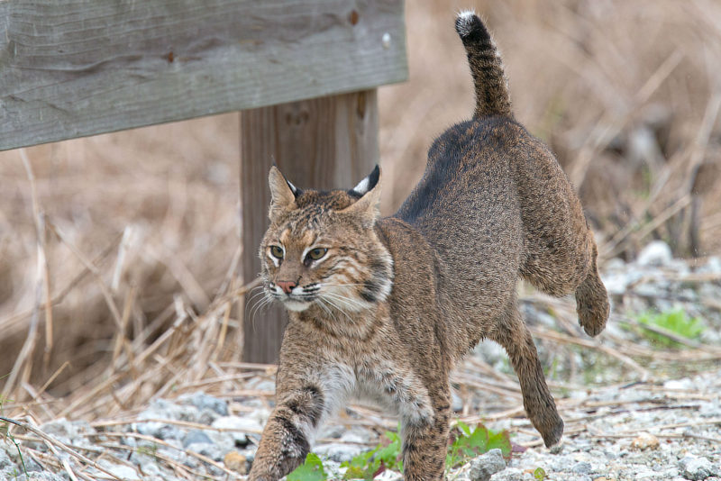 10 New Image Of Bobcat FULL HD 1080p For PC Desktop 2021 free download proposed bobcat hunting season still early in planning process 800x534