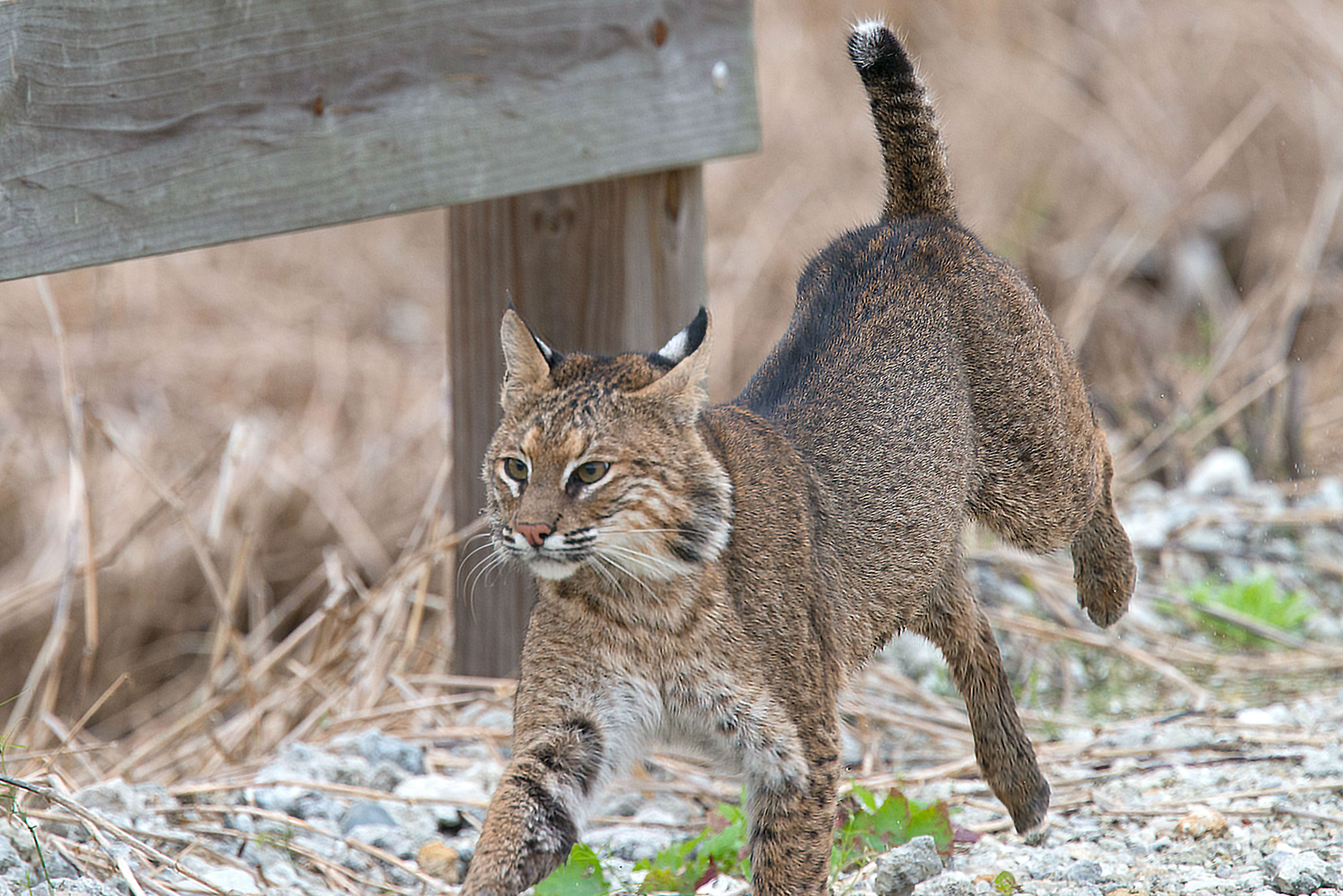 proposed bobcat hunting season still early in planning process