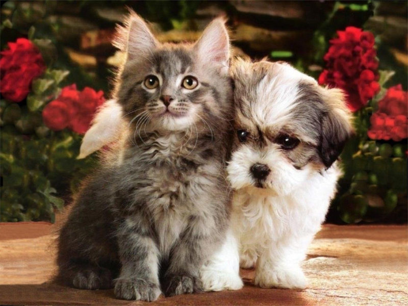 10 Most Popular Puppy And Kitten Wallpapers FULL HD 1920×1080 For PC Background 2021 free download puppies and kitten wallpaper becauseits just too cute cute 800x600