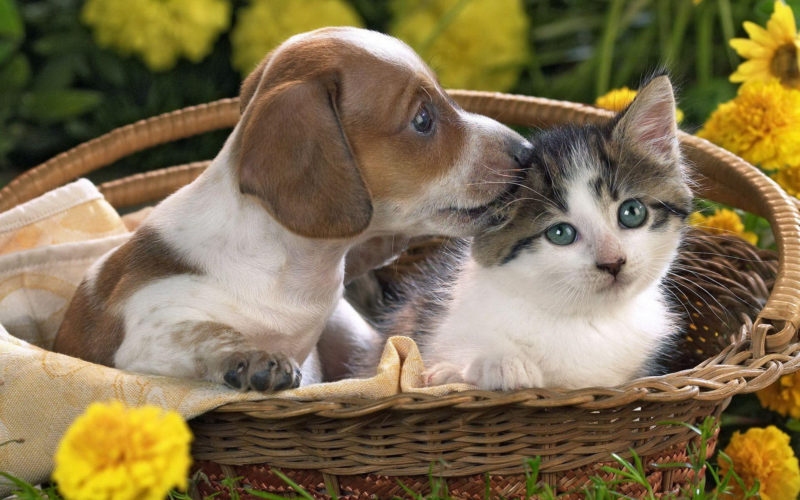 10 Most Popular Puppy And Kitten Wallpapers FULL HD 1920×1080 For PC Background 2020 free download puppies and kittens wallpapers wallpaper cave 12 800x500