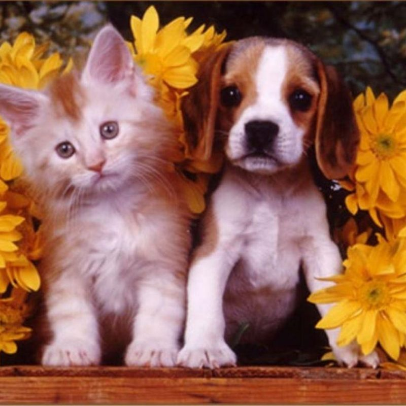 10 Latest Puppy And Kitten Backgrounds FULL HD 1920×1080 For PC Desktop 2018 free download puppies and kittens wallpapers wallpaper cave 3 800x800