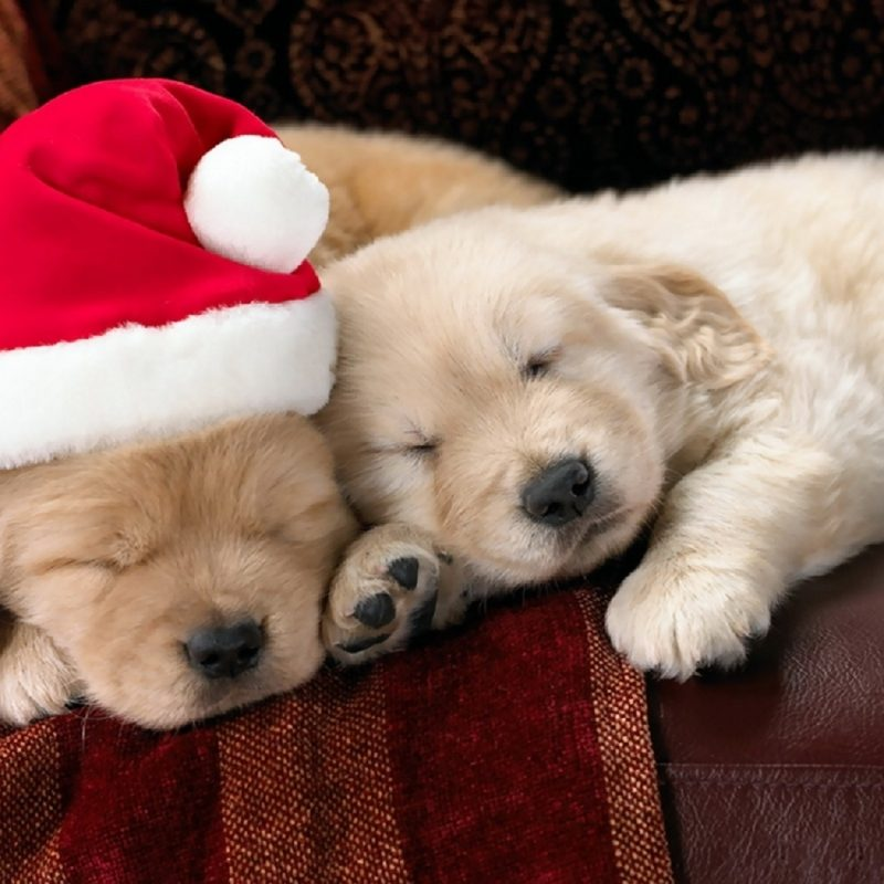 10 Top Cute Puppy Christmas Pictures FULL HD 1080p For PC Desktop 2020 free download puppies for sale at christmas puppies for sale dogs for sale in 800x800