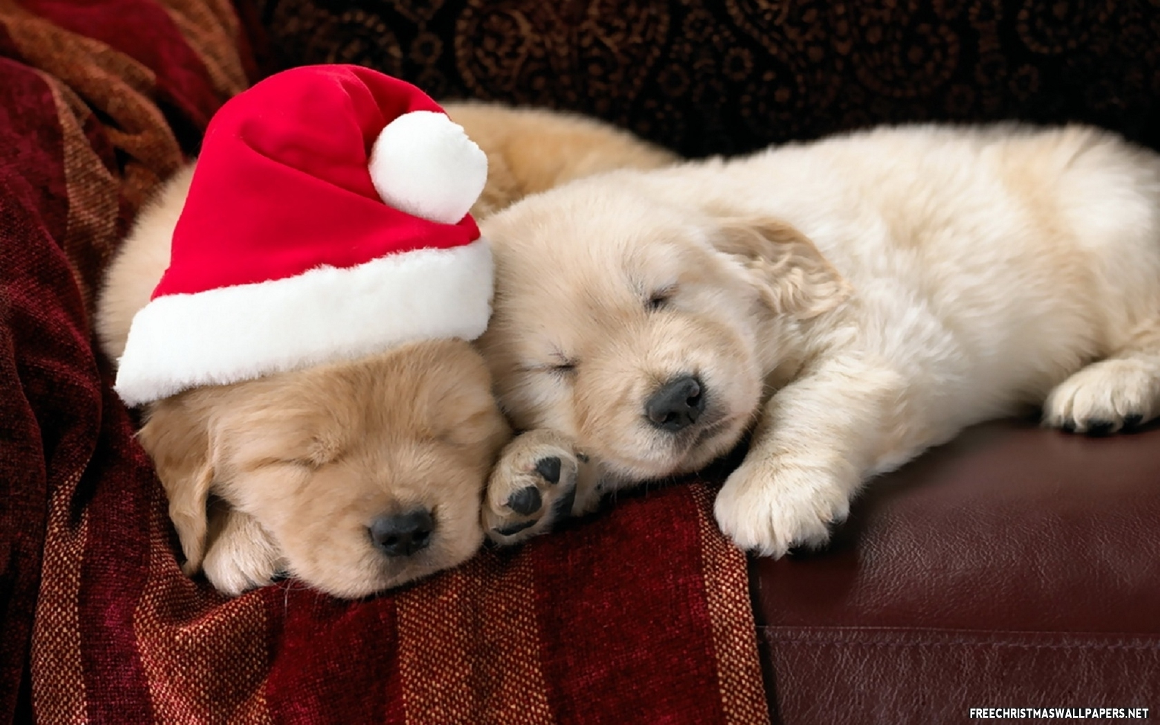 puppies for sale at christmas : puppies for sale : dogs for sale in