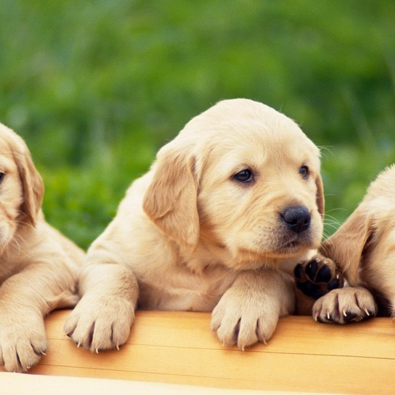 10 Top Puppies Wallpapers Free Download FULL HD 1080p For PC Background 2018 free download puppies free hd top most downloaded wallpapers page 12 1 800x800