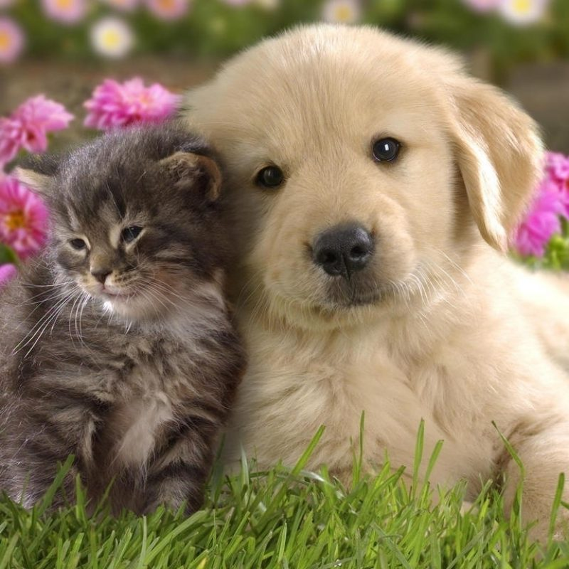 10 Top Puppies And Kittens Wallpaper FULL HD 1920×1080 For PC Background 2018 free download puppies vs kittens images puppies and kittens hd wallpaper and 800x800