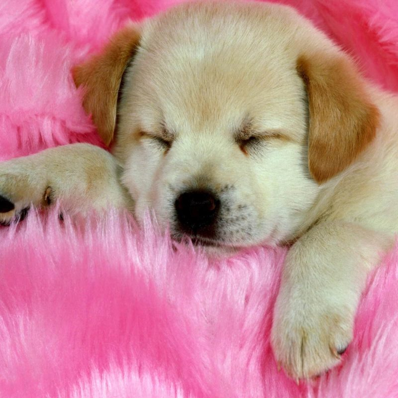 10 Latest Puppy Wallpapers For Free FULL HD 1920×1080 For PC Desktop 2018 free download puppies wallpapers free download group 81 1 800x800