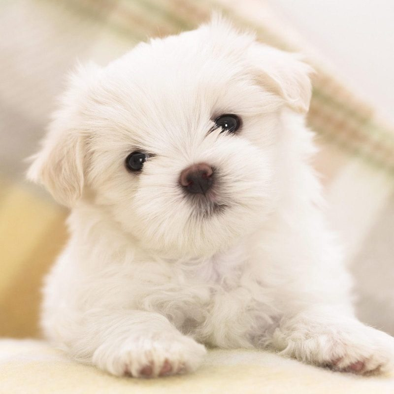 10 New Cute Puppies Wallpapers Free Download FULL HD 1080p For PC Background 2020 free download puppies wallpapers free download group 81 3 800x800