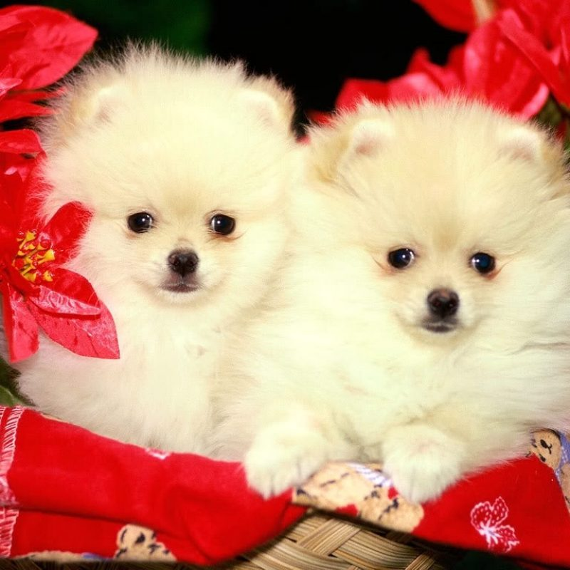 10 New Cute Puppies Wallpapers Free Download FULL HD 1080p For PC Background 2020 free download puppies wallpapers free download group 81 4 800x800
