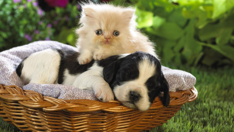 10 Most Popular Puppy And Kitten Wallpapers FULL HD 1920×1080 For PC Background 2020 free download puppy kitten wallpaper high definition high quality widescreen 800x450