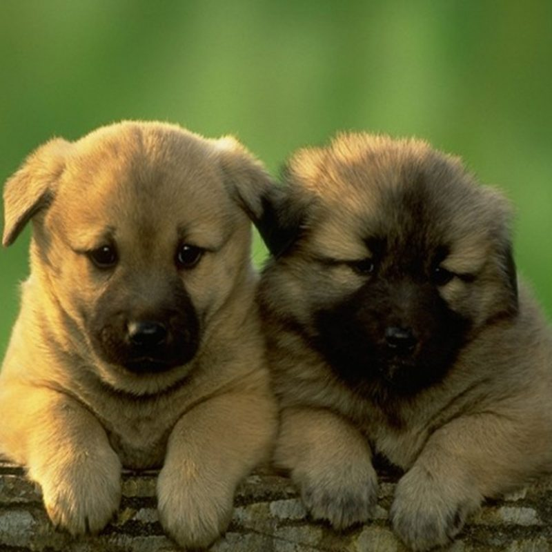 10 Top Puppy Wallpapers Free Download FULL HD 1080p For PC Desktop 2020 free download puppy wallpaper free download 800x800