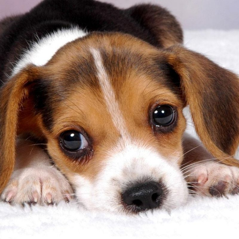 10 Latest Puppy Wallpapers For Free FULL HD 1920×1080 For PC Desktop 2018 free download puppy wallpapers free group 83 800x800