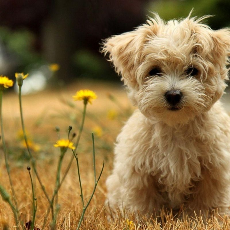 10 New Cute Puppies Wallpapers Free Download FULL HD 1080p For PC Background 2020 free download puppy wallpapers free wallpaper cave 4 800x800