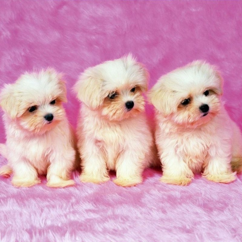 10 Top Cute Wallpapers Of Puppies Full Hd 19201080 For Pc