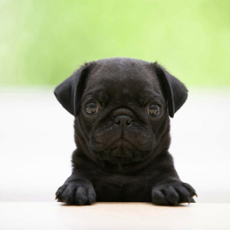 10 Latest Puppy Wallpapers For Free FULL HD 1920×1080 For PC Desktop 2018 free download puppy wallpapers puppy backgrounds pack v 81qmm guoguiyan 800x800