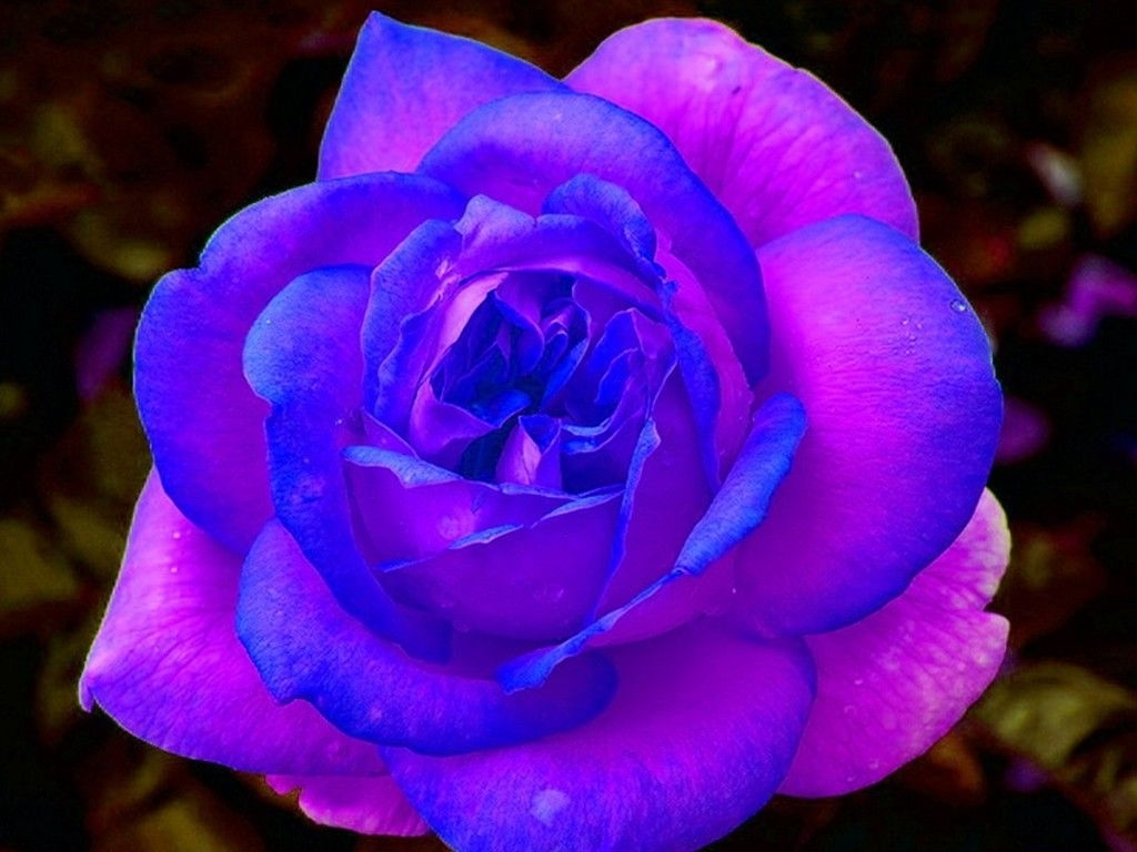 purple and pink roses wallpaper | blue and purple rose free download