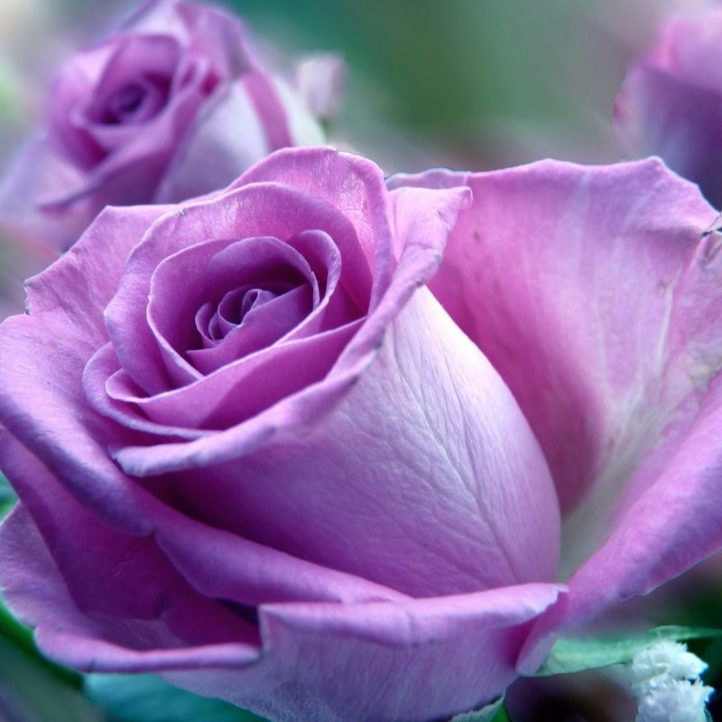 10 Top Pink And Purple Roses Wallpaper FULL HD 1920×1080 For PC Background 2020 free download purple and pink roses wallpaper purple rose wallpaper flower 800x800