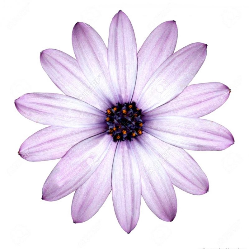 10 Most Popular Purple Flowers White Background FULL HD 1080p For PC Desktop 2018 free download purple flowers white background wallpapers gallery 800x800