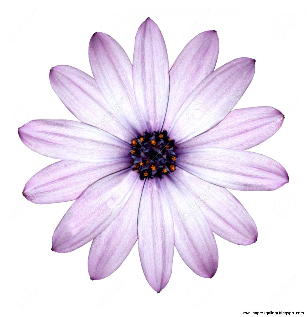 purple flowers white background | wallpapers gallery