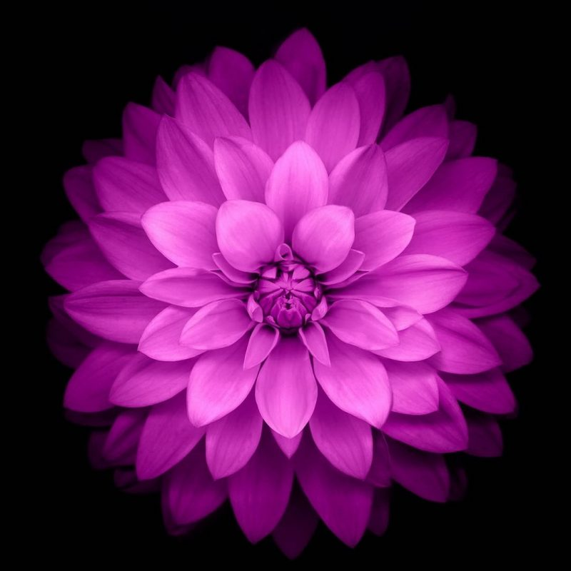 10 Most Popular Black And Purple Flower Wallpaper FULL HD 1080p For PC Background 2018 free download purple lotus black background htc one wallpaper pinterest 800x800