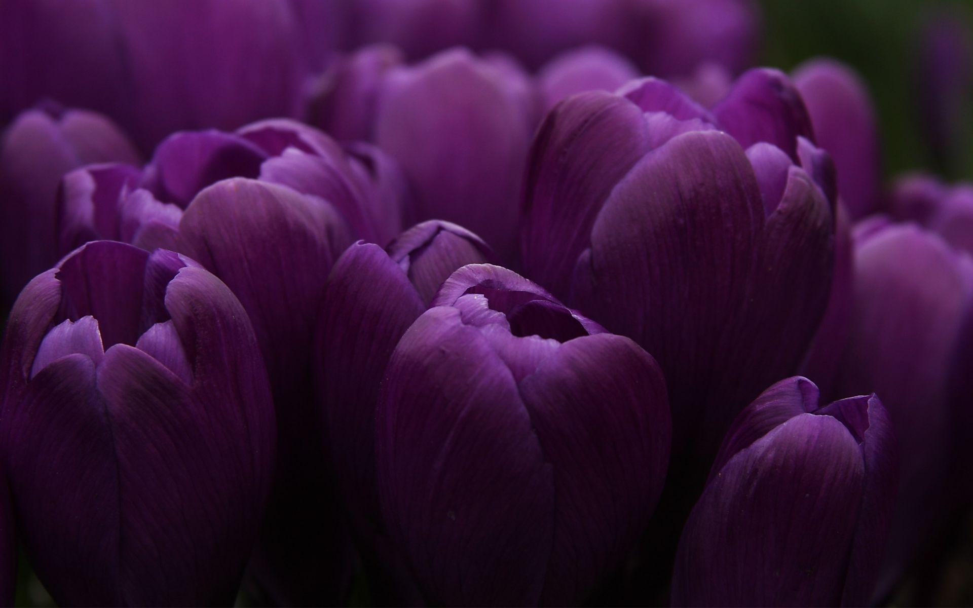 purple tulip wallpapers purple tulip stock photos   wallpapers