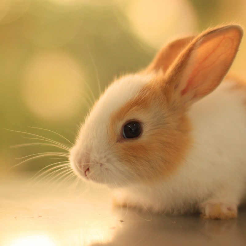 10 Most Popular Cute Baby Bunny Images FULL HD 1920×1080 For PC Desktop 2018 free download rabbits images bunnies hd wallpaper and background photos 40609229 800x800