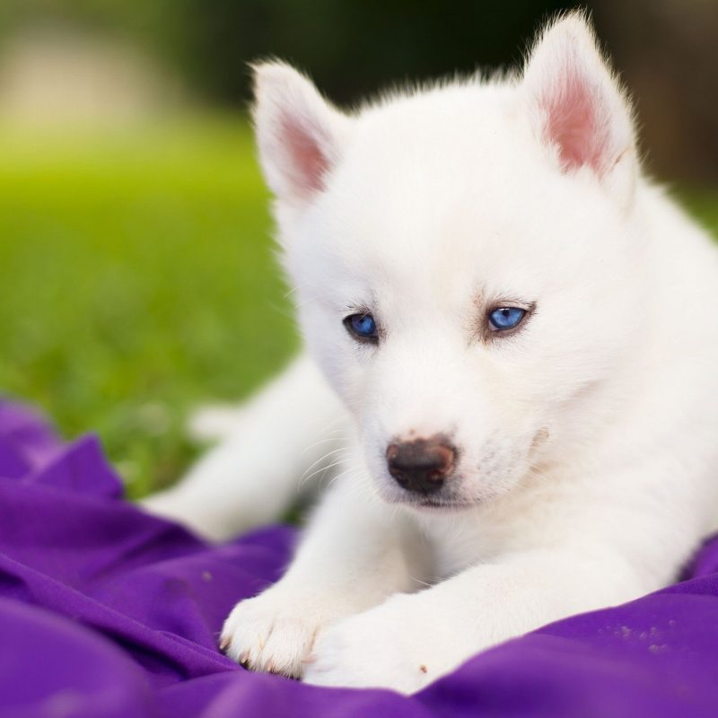 10 Most Popular Images Of Baby Huskies FULL HD 1080p For PC Background 2018 free download really cute baby husky puppies with blue eyes google search cute 800x800