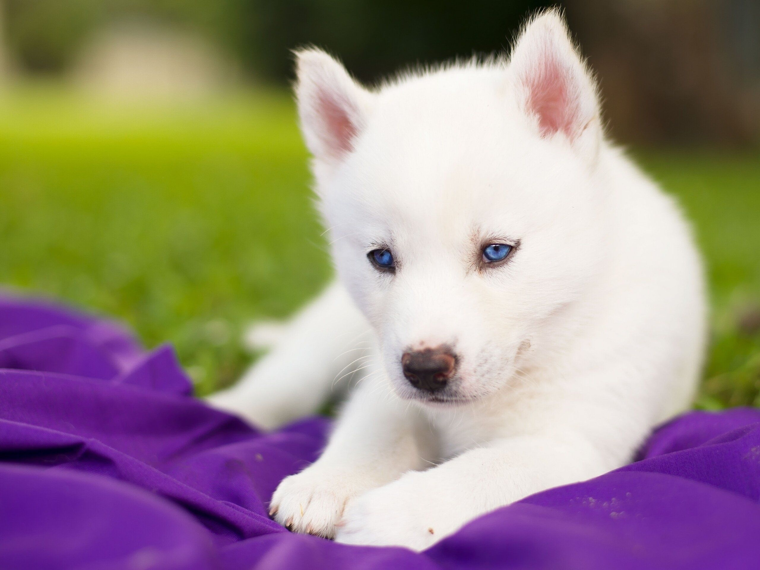 really cute baby husky puppies with blue eyes - google search | cute