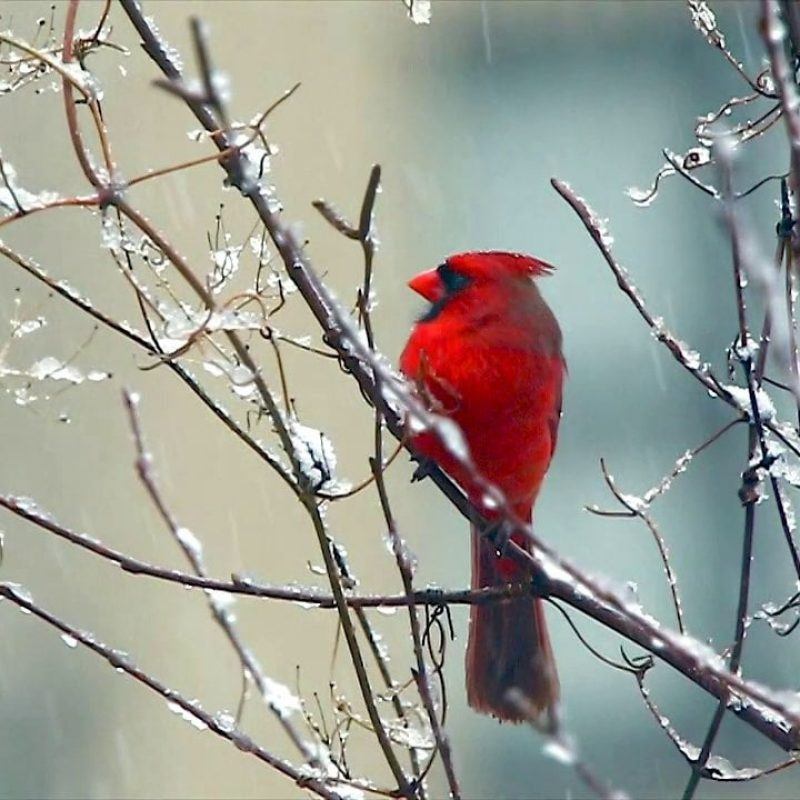 10 New Cardinal In Snow Pictures FULL HD 1080p For PC Desktop 2021 free download red cardinal bird signing in the snow on vimeo 800x800