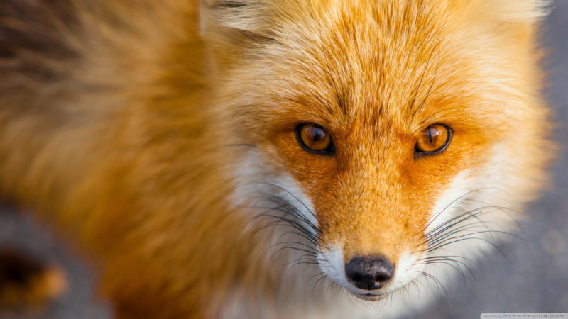 10 Best Fox Desktop Wallpaper FULL HD 1920×1080 For PC Background 2021 free download red fox close up e29da4 4k hd desktop wallpaper for 4k ultra hd tv 1 800x450