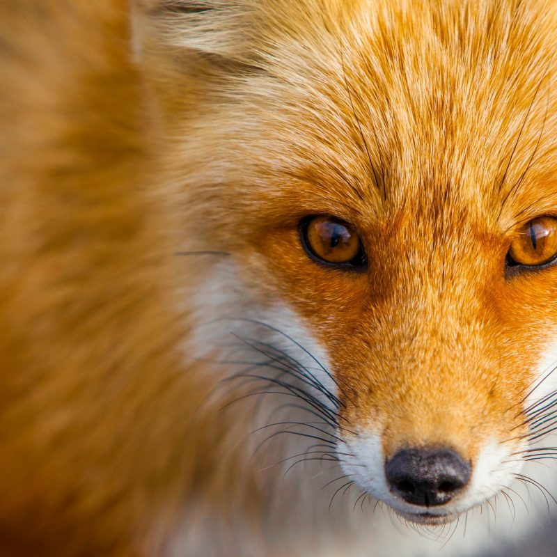 10 New Red Fox Wallpaper Desktop FULL HD 1080p For PC Desktop 2020 free download red fox close up e29da4 4k hd desktop wallpaper for 4k ultra hd tv 800x800
