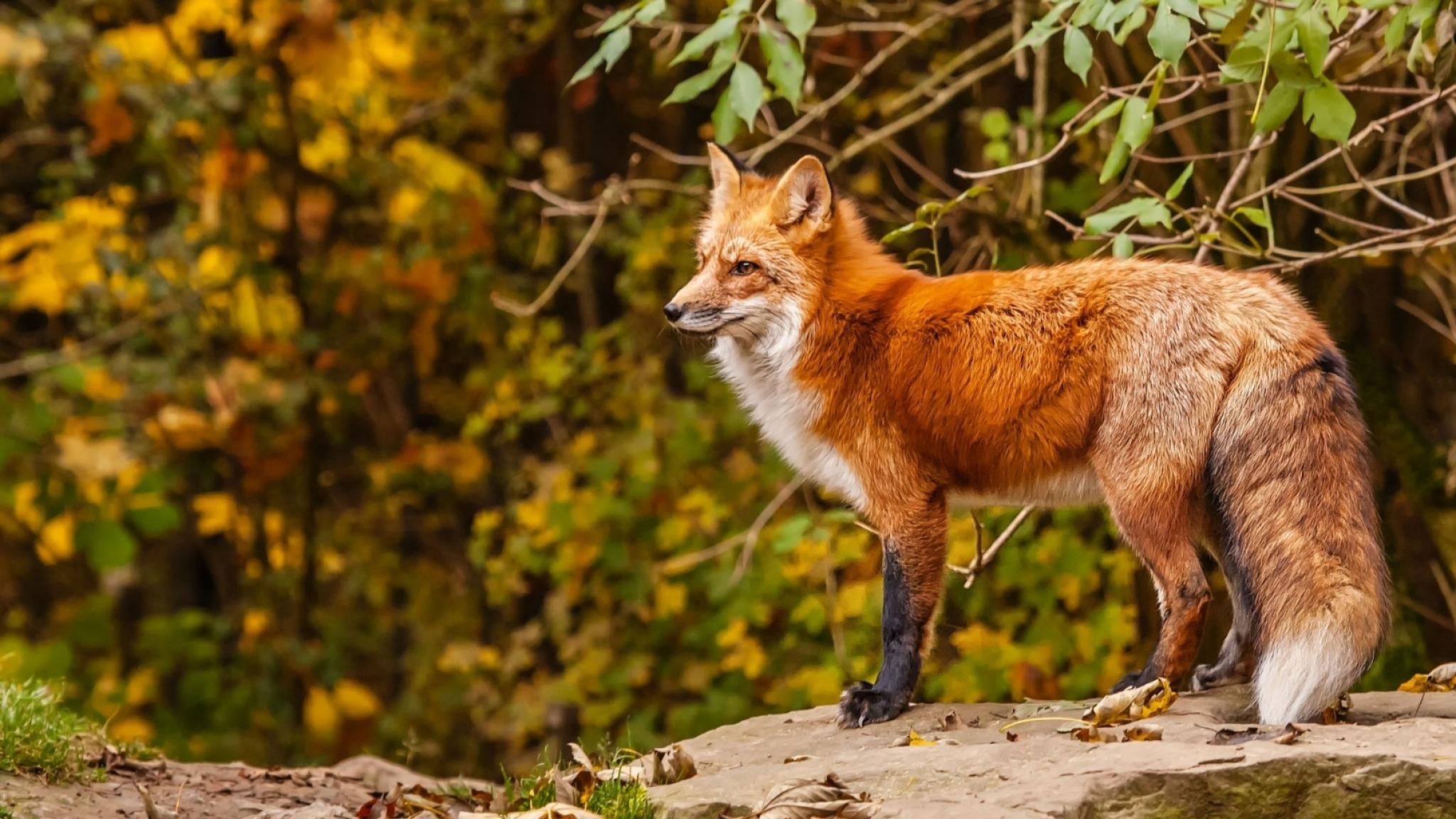 red fox desktop wallpaper 08062 - baltana