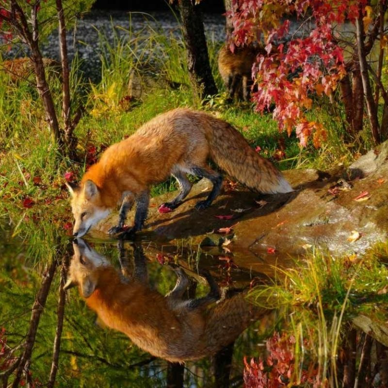 10 New Red Fox Wallpaper Desktop FULL HD 1080p For PC Desktop 2020 free download red fox wallpaper desktop background sdeerwallpaper animals 800x800