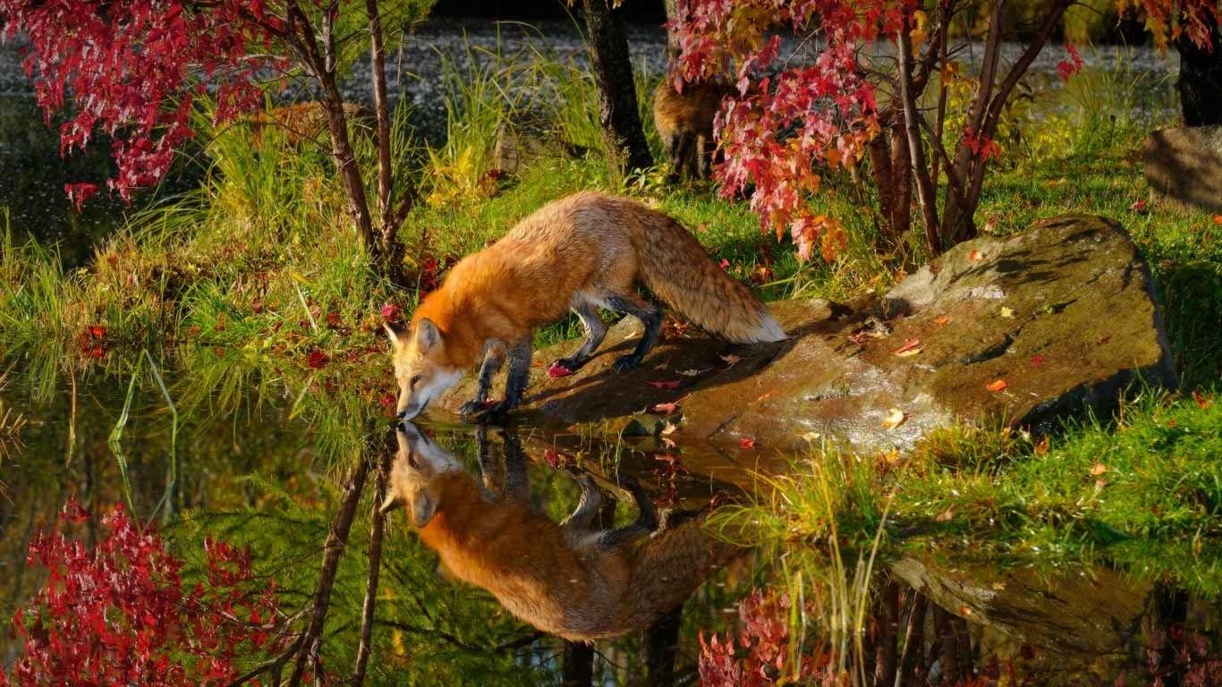 red fox wallpaper desktop background ~ sdeerwallpaper | animals