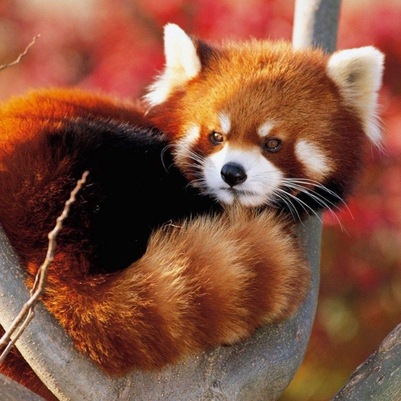 10 Latest Red Panda Wallpaper 1920X1080 FULL HD 1920×1080 For PC Desktop 2020 free download red panda backgrounds wallpaper cave 800x800