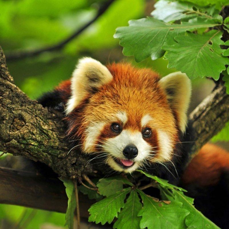 10 Latest Red Panda Wallpaper 1920X1080 FULL HD 1920×1080 For PC Desktop 2021 free download red panda wallpaper hd 28174 baltana 800x800