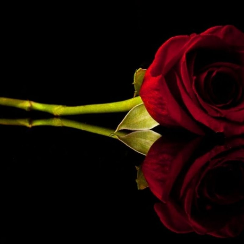 10 Best Red Roses With Black Background FULL HD 1080p For PC Desktop 2018 free download red rose c2b8flowers on a black background pinterest rose 800x800