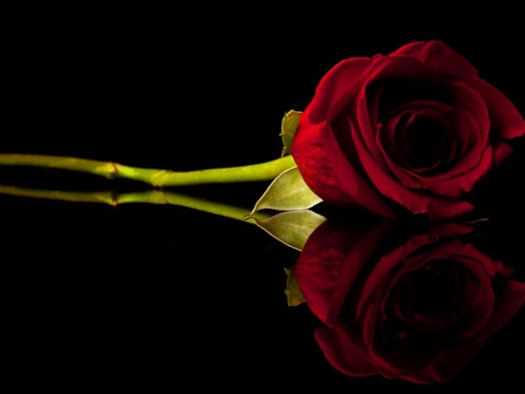 red rose. | ´)(` .¸flowers on a black background | pinterest | rose