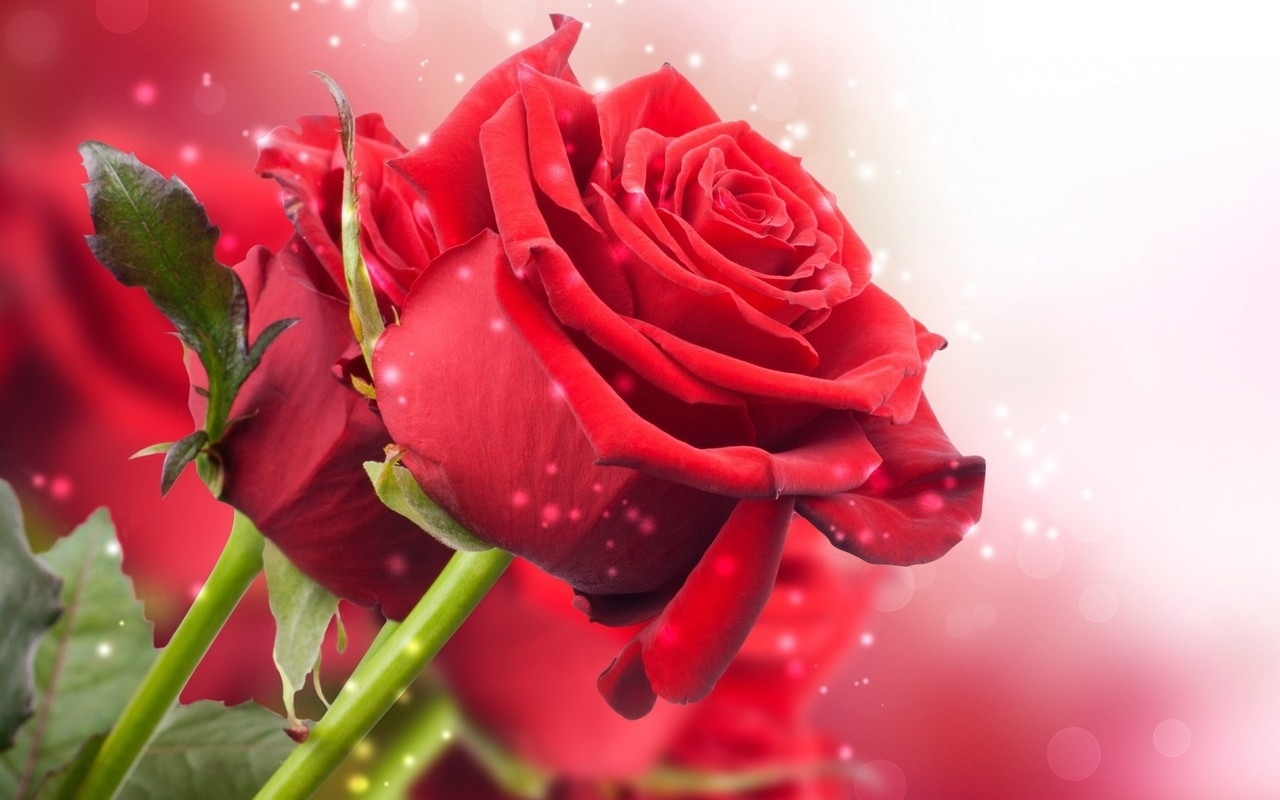 red rose wallpapers free download | images wallpapers | pinterest