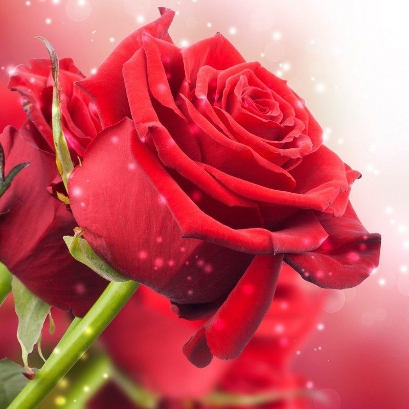10 New Rose Wallpapers Free Download FULL HD 1920×1080 For PC Background 2018 free download red rose wallpapers free download images wallpapers pinterest 800x800