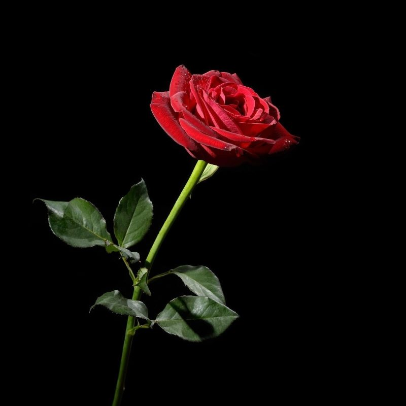 10 Best Red Roses With Black Background FULL HD 1080p For PC Desktop 2018 free download red rose with black background 42 images 800x800