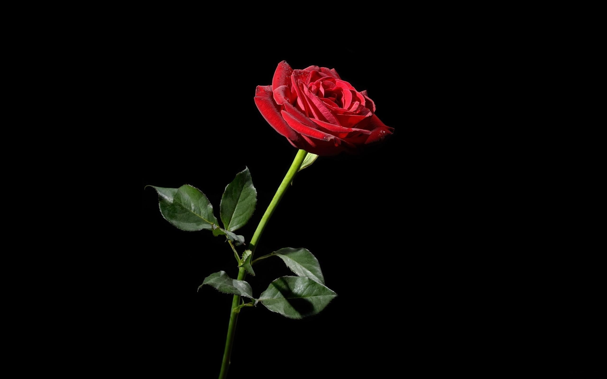 red rose with black background (42+ images)