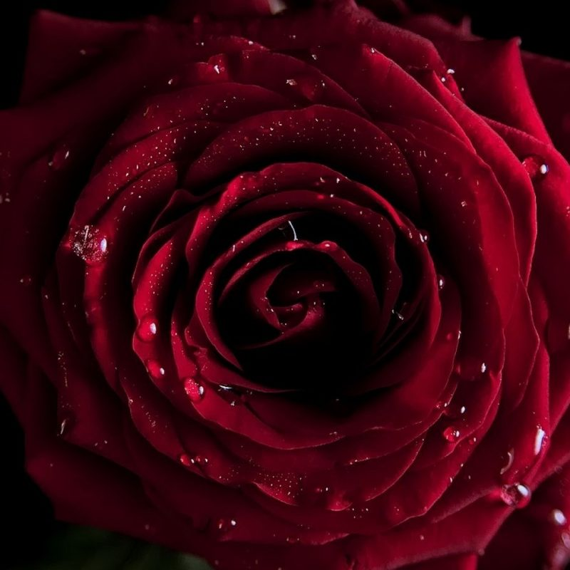 10 Top Dark Red Rose Wallpapers FULL HD 1080p For PC Desktop 2020 free download red rose with black background hd wallpaper high resolution desktop 800x800