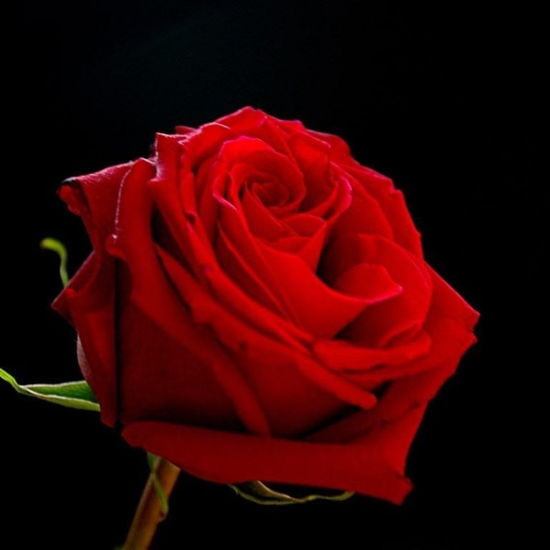 10 Best Red Roses With Black Background FULL HD 1080p For PC Desktop 2018 free download red roses on black backgrounds wallpaper cave 800x800