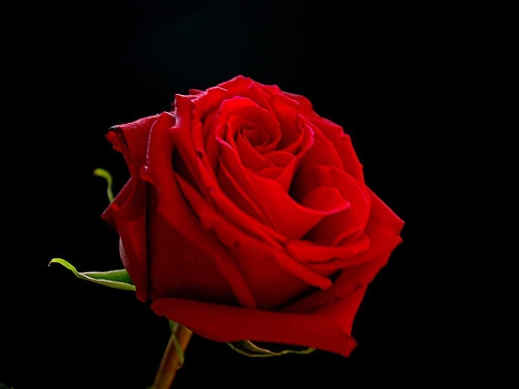 red roses on black backgrounds - wallpaper cave