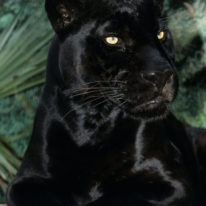 10 Most Popular Image Of Black Jaguar FULL HD 1080p For PC Background 2018 free download rip orson sadness black jaguar and cat 800x800