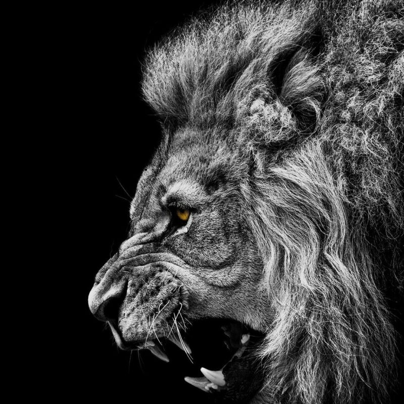 10 Most Popular Angry Lion Wallpaper Black And White FULL HD 1080p For PC Desktop 2018 free download roaring lion wallpaper 67 images 800x800